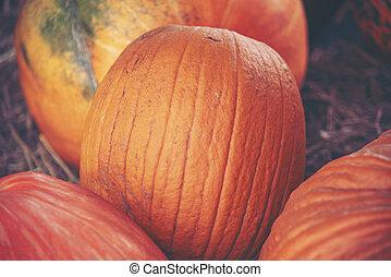 Giant pumpkin in vegetable farms