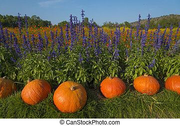 Giant pumpkin in vegetable farms.