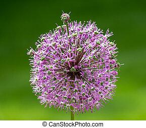 Giant purple allium flower on a field