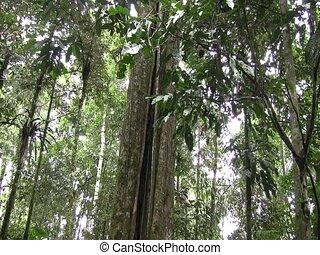 Giant rainforest tree