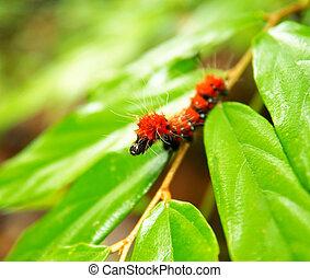 Giant red shaggy caterpillar.