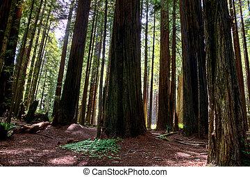 Giant Redwoods California