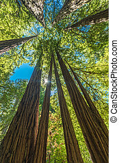 Giant redwoods in Muir Woods National Monument near San Francisco, California