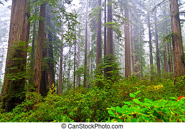 Giant Redwoods surrounded by thick morning fog