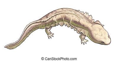 Giant salamander - Japanese and chinese giant salamander - ...