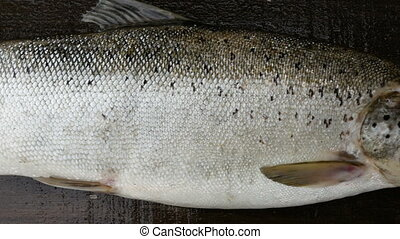 giant salmon, trophy fish close to, panorama