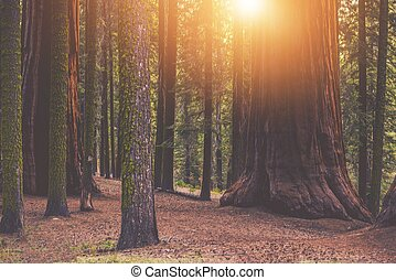 Giant Sequoia Forest Place. Sunset in the Californian Sierra...