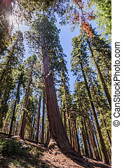 Giant Sequoia in the Sherman Grove