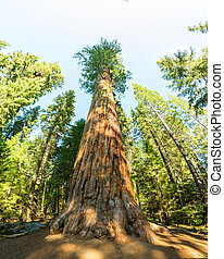 Giant Sequoia redwood trees with blue sky in Sequoia...