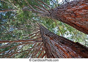 Giant sequoia in an arboretum