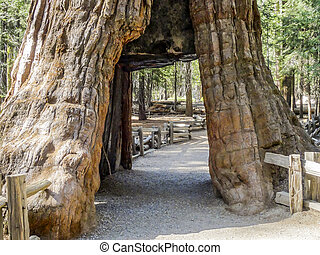 Giant Sequoia Tree in Mariposa Groove in Yosemite National...