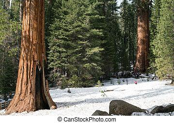 Giant Sequoia tree, Yosemite National Park