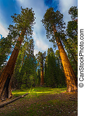 Giant Sequoia Trees at Sunset