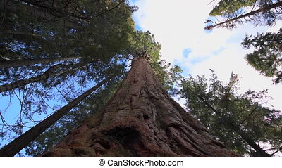 Giant Sequoia Trees dolly right - Giant Forest of Sequoia...