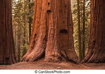 Giant Sequoia Trees in Sequoia National Forest, California, ...
