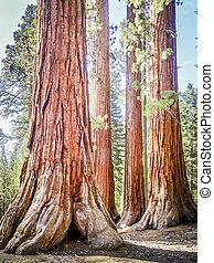 Giant Sequoia Trees in Yosemite National Park California