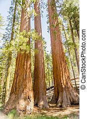 Giant Sequoias at Yosemite National Park, California