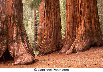 Bachelor Tree & Three Graces - Giant Sequoias, Bachelor Tree...