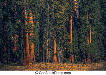 Summer Time in the Ancient Giant Sequoias Forest of California Sierra Nevada Mountains. American Natural Wonder.