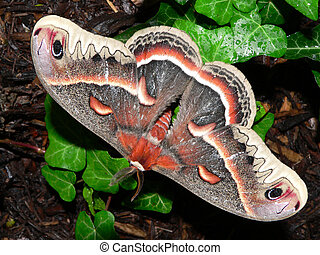 Giant Silk Moth - Beatiful giant silk moth on ivy.