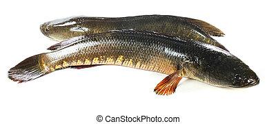 Giant snakehead fish