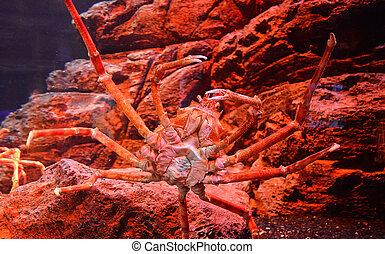 Giant spider crab / Japanese giant crab swimming underwater aquariumun