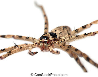 giant spider isolated in white background
