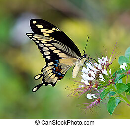 Giant Swallowtail butterfly (Papilio cresphontes) taking...