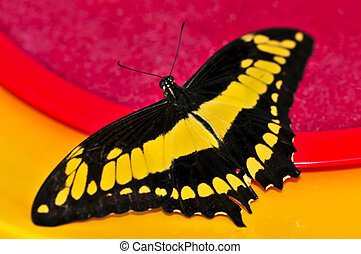Giant swallowtail butterfly with open wings and yellow ...
