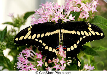 Giant Swallowtail on Pink Flowers - A giant swallowtail...