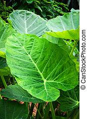giant taro leaf araceae / ear elephant leaf (Alocasia Indica)