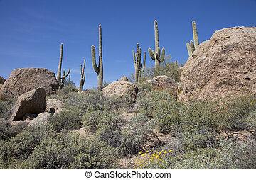 Giant thorny Saguaro Cactus