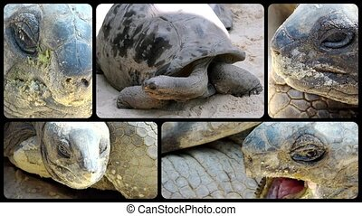 Giant tortoise close-ups - Giant tortoise, collage