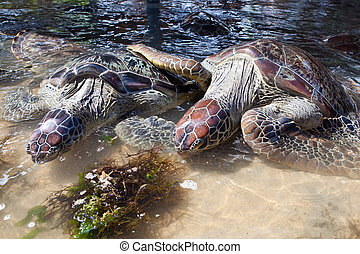 Giant tortoise eats grass in water