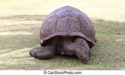 Giant tortoise eating grass, Seychelles