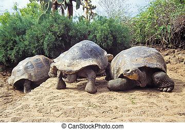 Giant tortoise, Galapagos Islands, Ecuador - Giant tortoises...