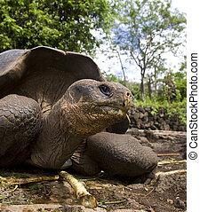 Giant Tortoise (Geochelone elephantopus) - Galapagos Islands...