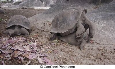 giant tortoises outdoors on seychelles - animals, zoogamy,...