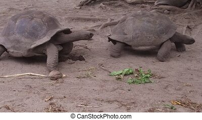 giant tortoises outdoors on seychelles - animals, fauna and...