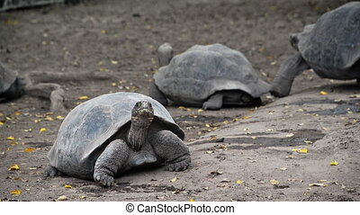 Giant Tortoises - Video of giant tortoises in the Galapagos...