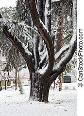 giant tree cedar of lebanon under the snow in rome