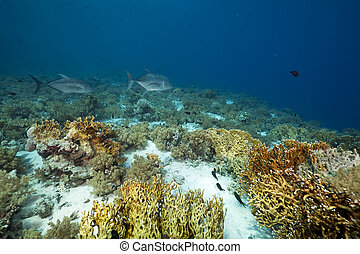giant trevally and coral garden