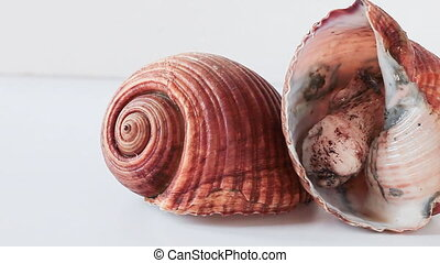 Giant Tun - Giant tun snails (Tonna galea) isolated on white...