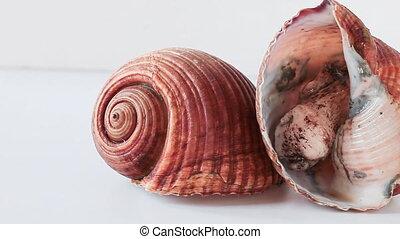 Giant Tun - Giant tun snails (Tonna galea) isolated on white...