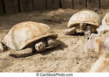 Giant Turtle Family