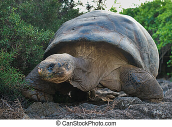 giant turtle, galapagos islands, ecuador