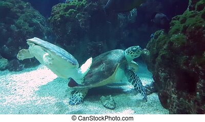 Giant Turtles Swimming Together - Giant Sea Turtles Swimming...