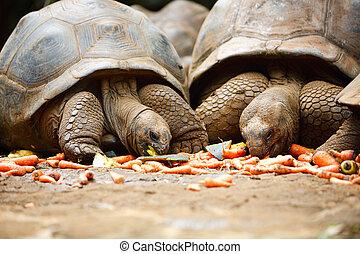 Giant turtles