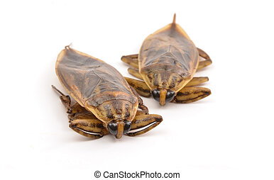 giant water bug isolated