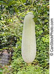 Giant winter melon.